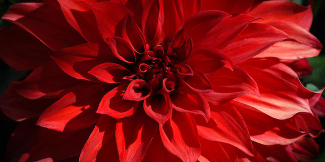 Cropped red dahlia ronda broatch
